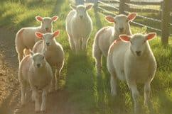 Alde Valley Lambs